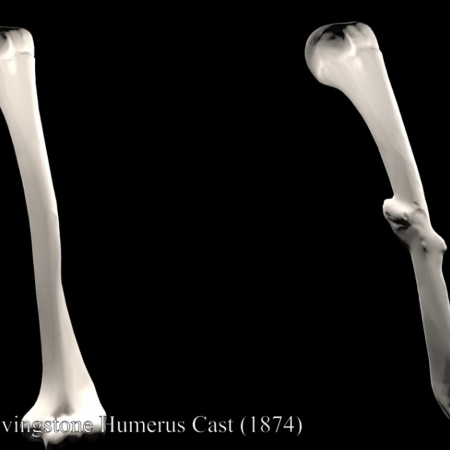 humerus comparison.jpg